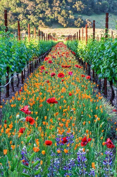 Dazzling Wildflowers In The Vineyard Rows
