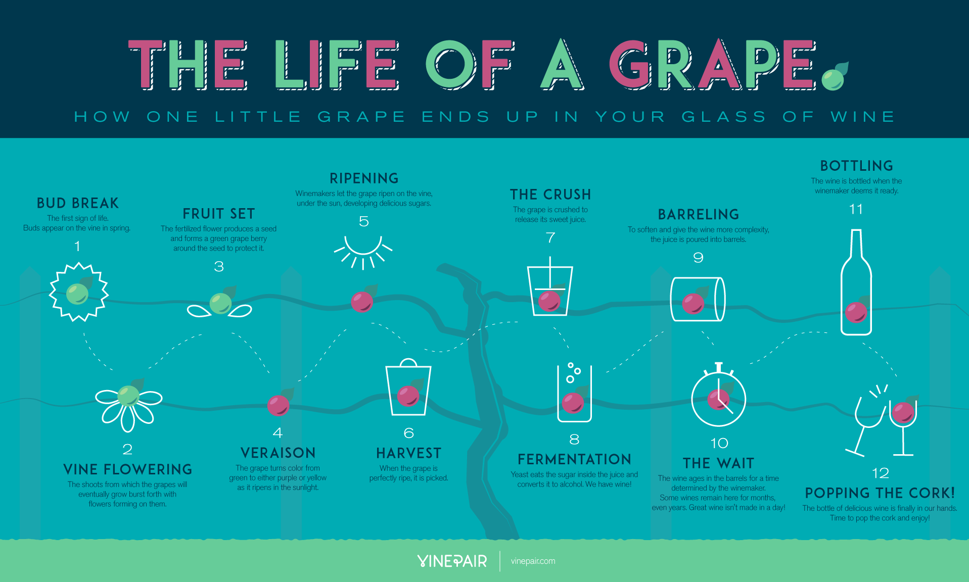 Follow The Life Of A Grape