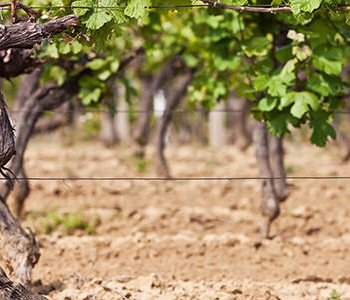 Why Does Bad Soil Make For Great Wine?