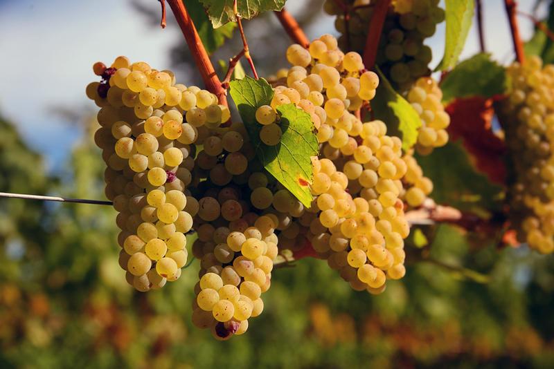 Cardonnay Grapes At Dusk