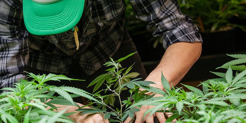 Can Marijuana Express Terroir?