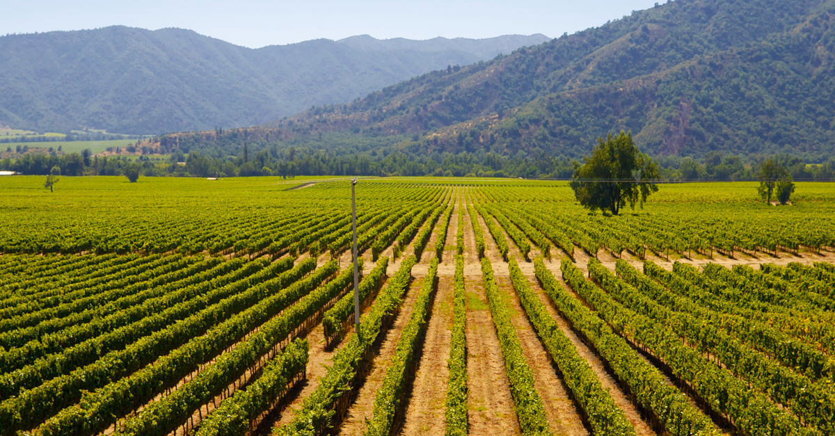 Chilean Grapes Are Purer Than Any Others; Here's Why