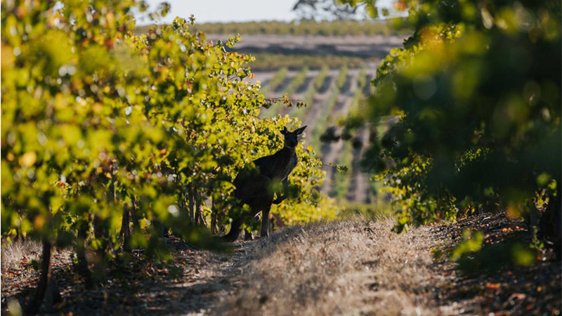 Wakefield Wines is one of the wineries that gives back